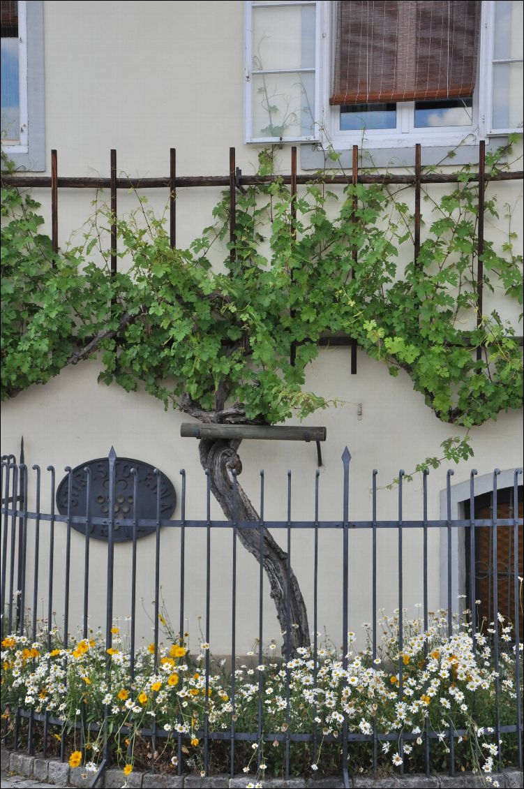 old wine vine