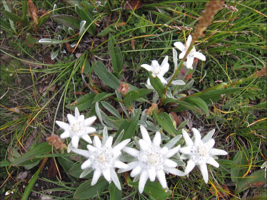 Edelweiss à profusion